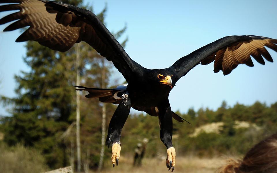 På Örnreservatet får man chansen att uppleva rovfåglarna på riktigt nära håll.