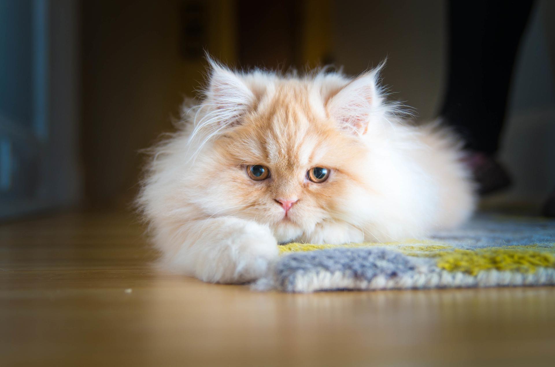 b4f310ddde 36 saker du inte visste om katter