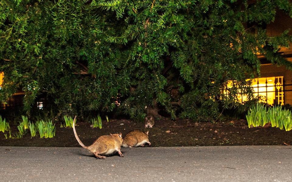 Nya Så slipper du råttor i väggarna   Göteborgs-Posten - Konsument CV-07