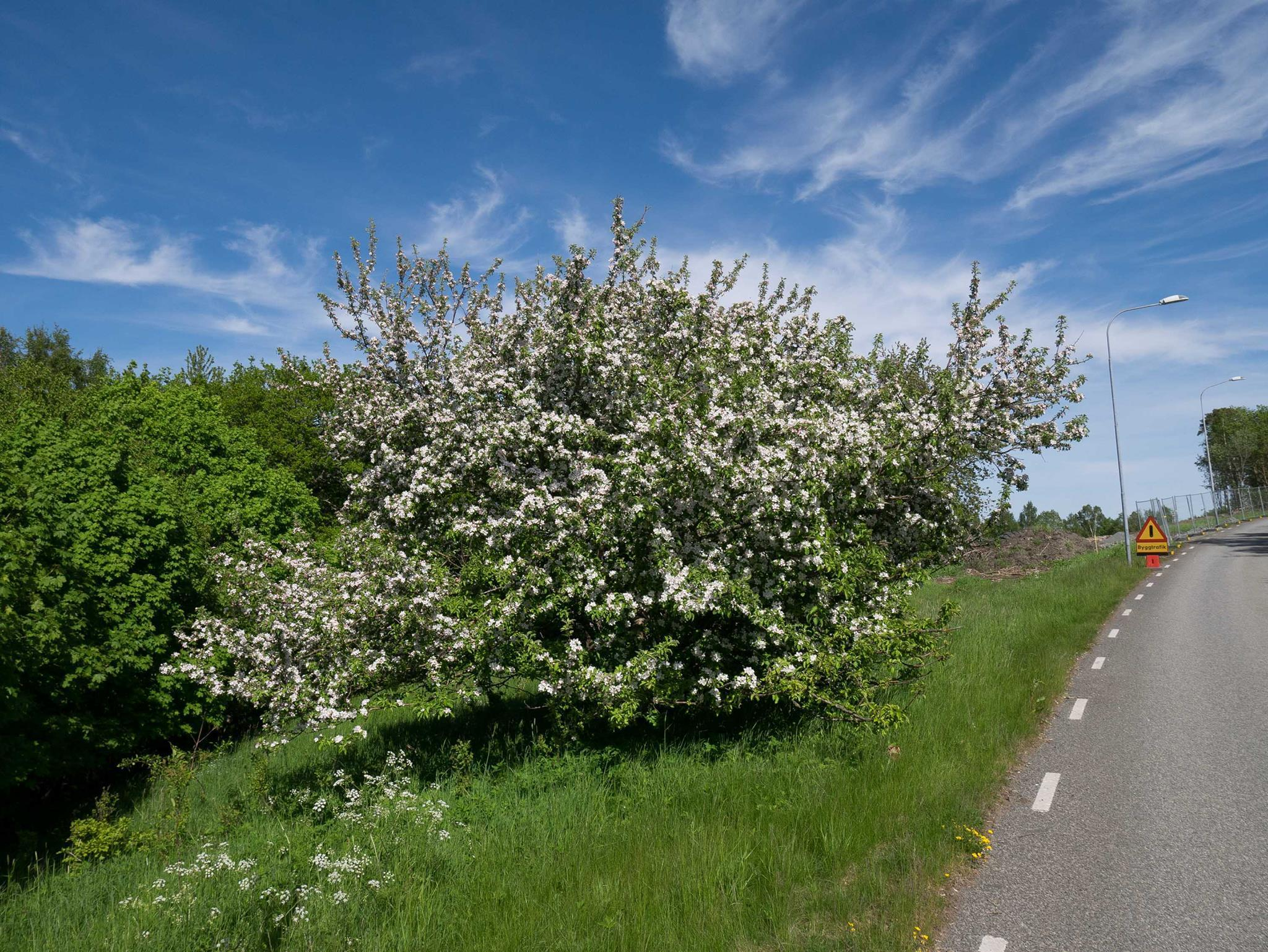 Äppelträdet som orsakade strid i Askim
